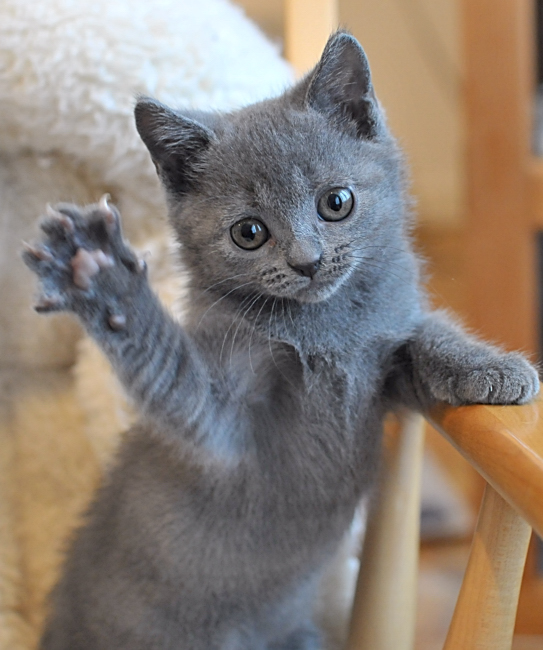 Chartreux kittens - We breed, show and sell Chanson Bleu Chartreux