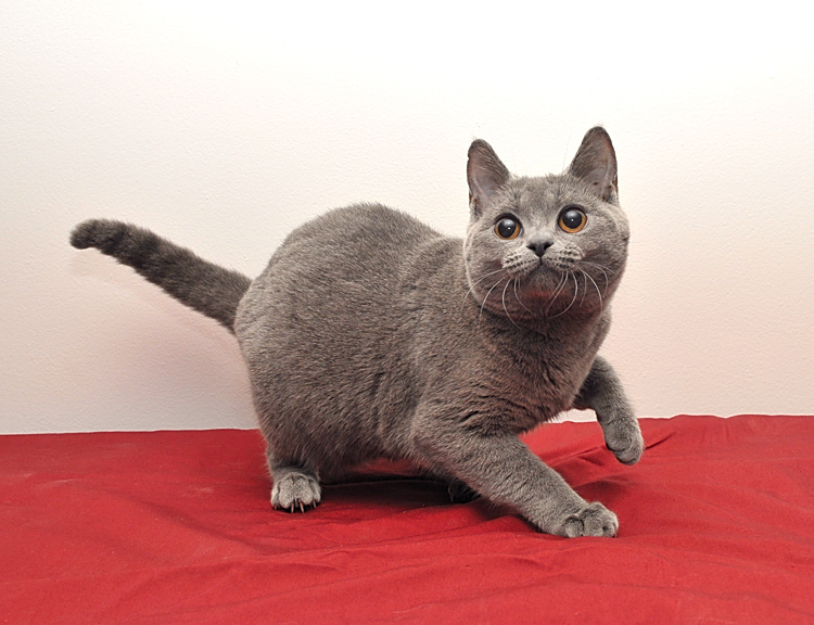 Chartreux kittens - We breed,